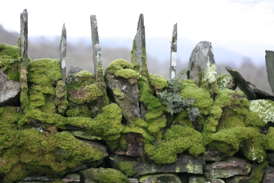 Moss on a very old wall in Ffestiniog, Wales