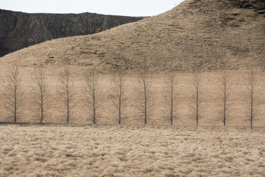iceland birch