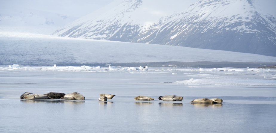iceland seals