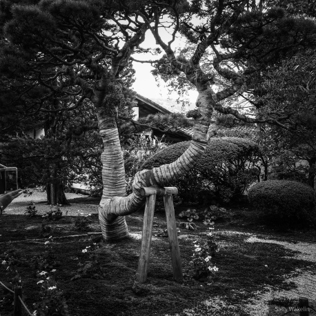 An ancient tree within a shrine garden bandaged and propped up.